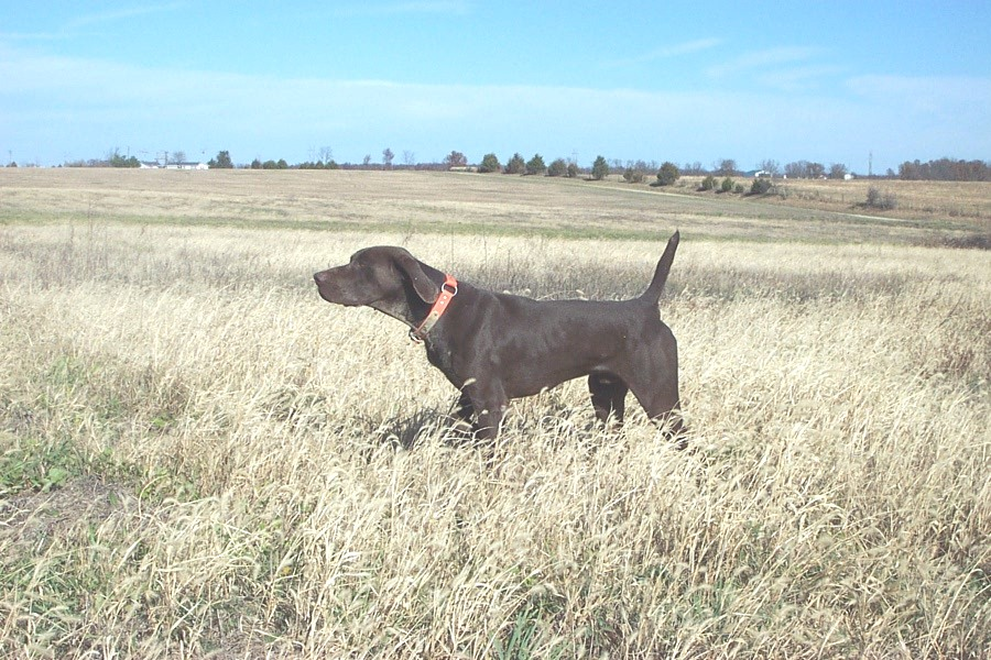 Hillhaven hustler german shorthair